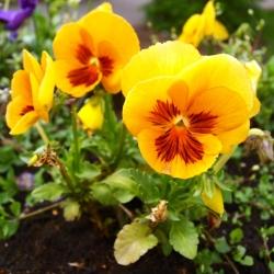 Hạt Pansy đỏ vàng - Viola x wittrockiana - 320 hạt