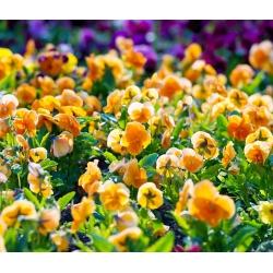 بذور بانسي أورانج صن - فيولا س wittrockiana - Viola x wittrockiana  - ابذرة