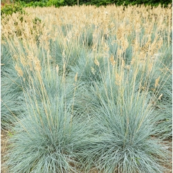 Festuca azul - Festuca glauca - 285 semillas
