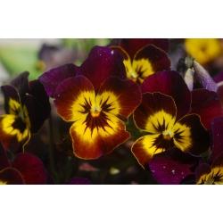 Hạt Pansy nâu khổng lồ - Viola x wittrockiana - 320 hạt