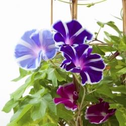 """Semená rannej slávy """"Dvojfarebný mix"""" semien - Ipomoea tricolor - 56 semien - Ipomoea purpurea"""