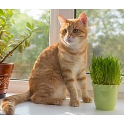 Hạt giống cỏ mèo -
