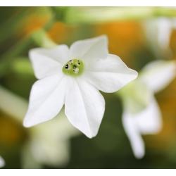 Dekoratiivse tubaka segatud seemned - Nicotiana x sanderae - 9000 seemnet