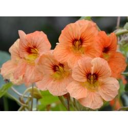 Nasturtium Alaska Salmon Orange seeds - Tropaeolum majus var. Nanum - 24 seeds