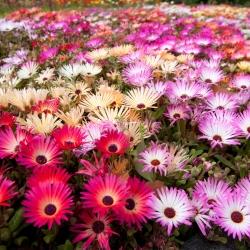 Kúzelný koberec Miešané semená - Mesembryanthemum criniflorum - 1600 semien - Doroteantus bellidiformis