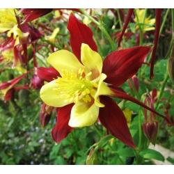 "Columbine hybrid ""McKana's"" seeds - Aquilegia x hybrida - 400 seeds"