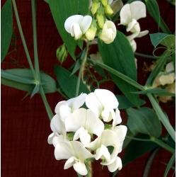 Sweet Pea Night and Day seeds - Lathyrus odoratus - 24 seeds