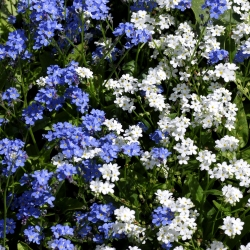 Hạt giống hỗn hợp Alps Forget-Me-Không - Myosotis alpestris - 1100 hạt