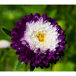 Китай Астер Помпон змішані насіння - Callistephus chinensis - 500 насіння
