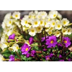 Primrose Crescendo Mix seeds - Primula elatior - 330 seeds