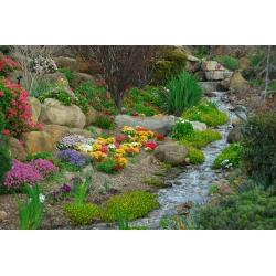 Perennial selection for rock gardens - 25 seeds