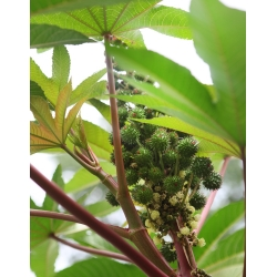 Castor Oil Plant - Ricinus communis - 6 seeds