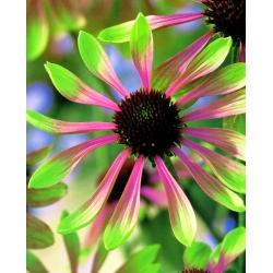 Echinacea, Coneflower Green Envy - čebulica / gomolj / koren - Echinacea purpurea