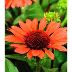 Echinacea, Coneflower Red Mangus - čebulica / gomolj / koren - Echinacea purpurea