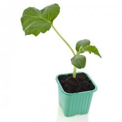 Zaļš kvadrāts 6 x 6 cm mazuļu podos - 30 gab -