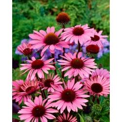 Echinacea, Coneflower Purpurea - čebulica / gomolj / koren - Echinacea purpurea