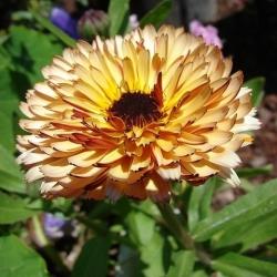 Botón de oro - Apricot Beauty - 240 semillas - Calendula officinalis