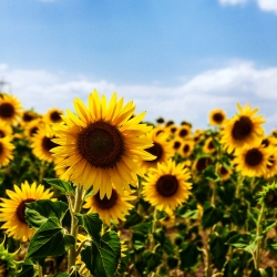 Sunflower seeds - Helianthus annuus - 120 seeds
