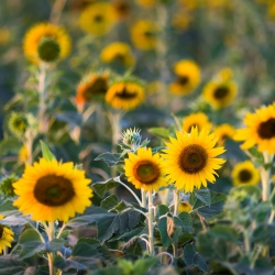 Sunflower seeds - Helianthus annuus - 120 seeds