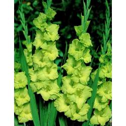 תערובת גלאדיולוס - 5 בצל - Gladiolus