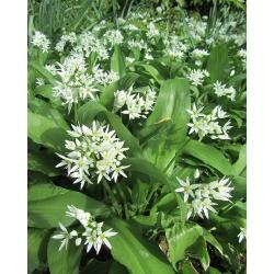 Laksis - 5 gab. Iepakojums - Allium ursinum