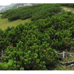 Mugo fenyőmag - Pinus mugo - 40 mag - Pinus mugo var. Mughus - magok