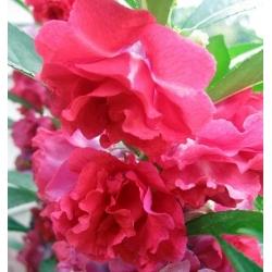 Vườn Balsam, hạt ngọc bích - Impatiens balsamina - 100 hạt
