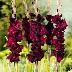 Gladiolus Black Star - 9 sīpoli katlā; zobenu lilija -
