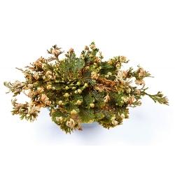 Hoa hồng của Jericho - củ / củ / rễ - Selaginélla
