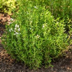 Biji Thyme - Thymus vulgaris - 1500 biji - Thymus vulgaris L. - benih