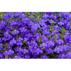 Lobelia safiiriseemned - Lobelia pendula - 6400 seemnet