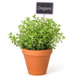Hạt Oregano - Origanum Vulgare - 750 hạt