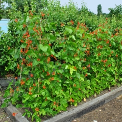 Scarlet Runner Bean, Multiflora Bean mix seeds - Phaseolus coccineus