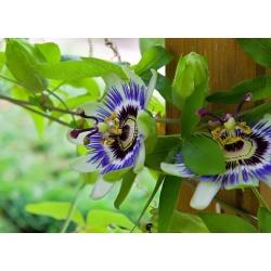 Семена Blue Passion Flower - пассифлора обыкновенная - 22 семени - Passiflora caerulea - семена