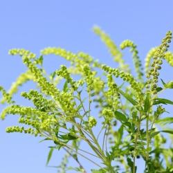 Jerusalem Oak Goosefoot seeds - Ambrosia mexicana