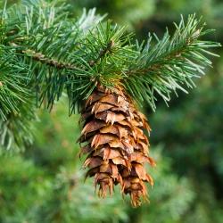 Douglas Fir, semillas de pino de Oregon - Pseudotsuga - 20 semillas - Pseudotsuga glauca
