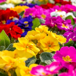 Primrose, English Primrose mix seeds - Primula acaulis - 140 seeds