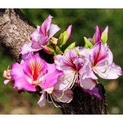 Хонг Конг Орцхид Трее семе - Баухиниа блакеана - Bauhinia variegata