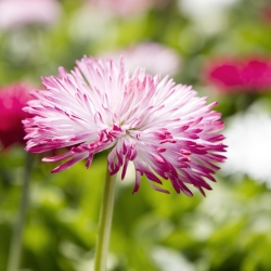English Daisy Pomponette Mix semien - Bellis perennis - 600 semien - Bellis perennis grandiflora.  - semená