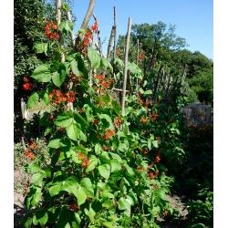Бобы Скарлет Бегун, Семена фасоли Multiflora - Phaseolus coccineus - семена