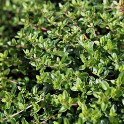 Hạt húng tây - Thymus Vulgaris - 1500 hạt - Thymus vulgaris L.