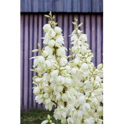 Yucca, Adam's Needle seeds - Yucca filamentosa - 20 seeds