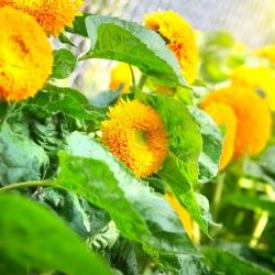 Dwarf Double Sunflower seemned - Helianthus annuus fl. pl. - 90 seemet