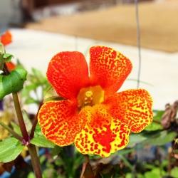 Tiger Monkey Flower (smíšený) semena - Mimulus tigrinus - 2500 semen