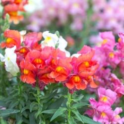 Trailing Snapdragon semená - Antirrhinum majus pendula - 100 semien