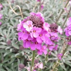 Angol Wallflower (kétéves) vegyes magok - Cheiranthus Cheiri