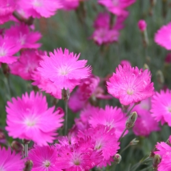 Firewitch, semillas de Cheddar Pink - Dianthus gratianopolitanus - 120 semillas - Dianthus gratianopolitanus syn. D. caesius.