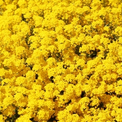 Mountain Gold seeds - Alyssum montanum - 500 seeds
