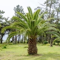 Dátum Kanárskych ostrovov Palmové semená - Phoenix canariensis - 5 semien