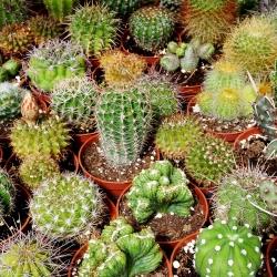 Cactus mix semen - 40 semen - Cactaceae - semena